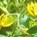 トマトの花@瑠璃山