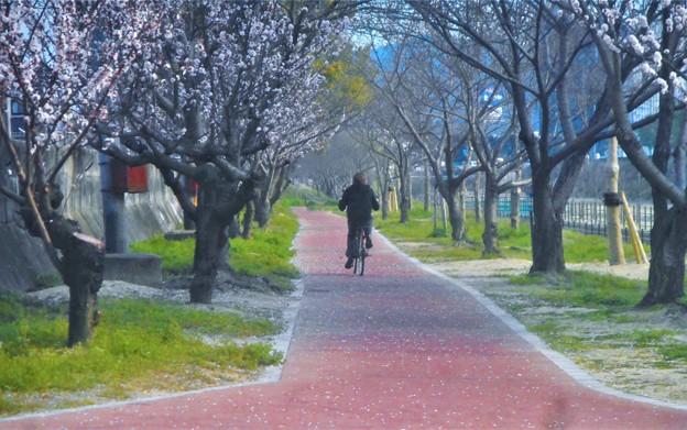 杏子(アンズ)の花の咲く頃