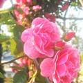 """Photos: ばら公園の蔓ばら """" アンジェラ"""""""