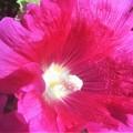 Photos: タチアオイの紅い花@びんご運動公園