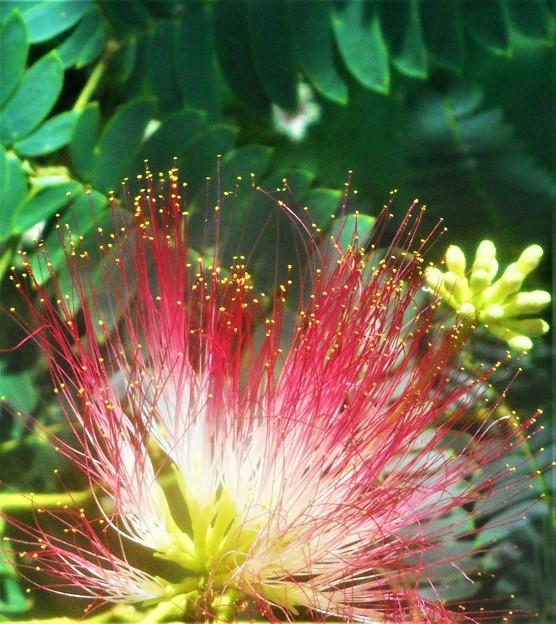 七夕(タナバタ)過ぎに咲く 合歓(ネム)の花