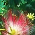 Photos: 七夕(タナバタ)過ぎに咲く 合歓(ネム)の花
