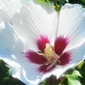 海の日前の青空に咲く ムクゲの花@備後路