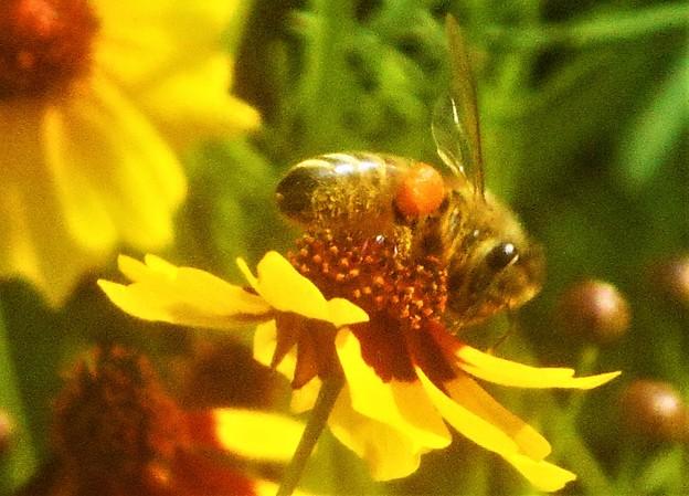 オレンジ色の花粉団子を持つミツバチくん@びんご運動公園