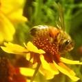 Photos: オレンジ色の花粉団子を持つミツバチくん@びんご運動公園