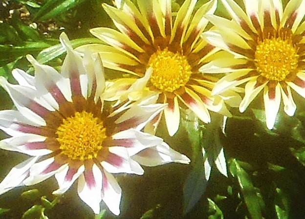 陽気な ガザニアの花@ガーデニング
