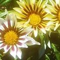 Photos: 陽気な ガザニアの花@ガーデニング