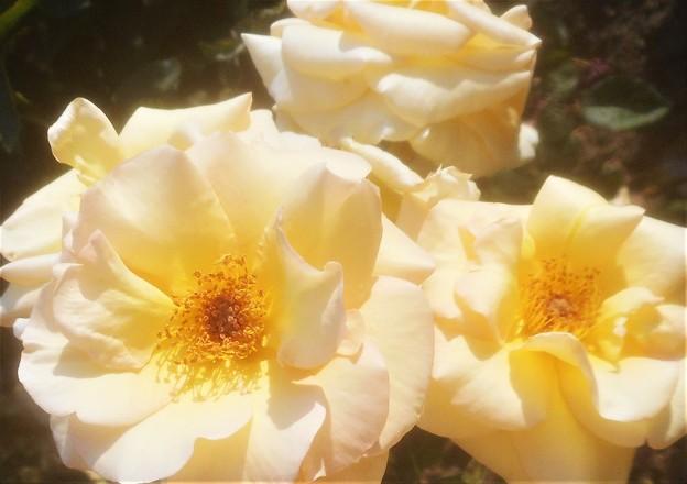 """5月の薔薇 """"バイ アポイントメント""""@ばら公園"""