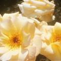 """Photos: 5月の薔薇 """"バイ アポイントメント""""@ばら公園"""