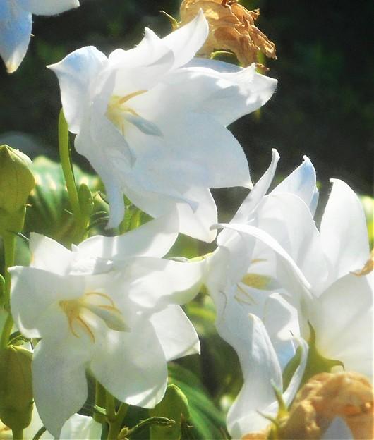 白桔梗(シロギキョウ)の咲く街