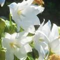 Photos: 白桔梗(シロギキョウ)の咲く街