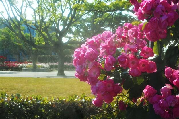 """蔓薔薇 """"アンジェラ""""の咲く@福山・ばら公園"""
