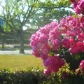 "Photos: 蔓薔薇 ""アンジェラ""の咲く@福山・ばら公園"
