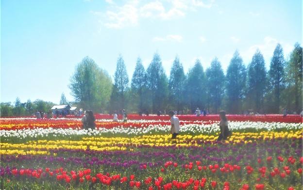 初夏の世羅高原@チューリップ畑