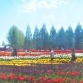 Photos: 初夏の世羅高原@チューリップ畑