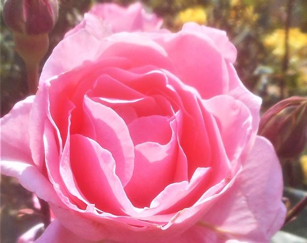"""ローズヒルの薔薇 """"マダム バタフライ""""@緑町公園"""