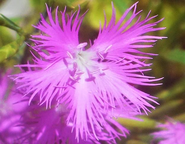 立秋の カワラナデシコの花@浮き城城址周辺
