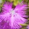 Photos: 立秋の カワラナデシコの花@浮き城城址周辺