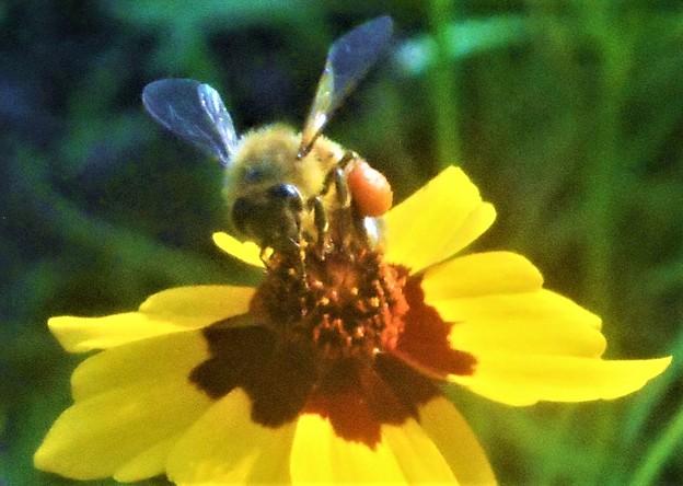 大きな花粉団子のミツバチくん@びんご運動公園