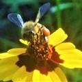 Photos: 大きな花粉団子のミツバチくん@びんご運動公園