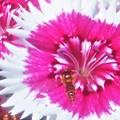 ナデシコの花にヒラタくん@ガーデニング