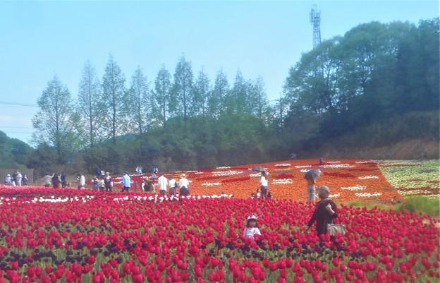 世羅高原の花絵@チューリップ祭2019