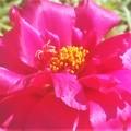 情熱的な ツメキリソウの花@ガーデニング