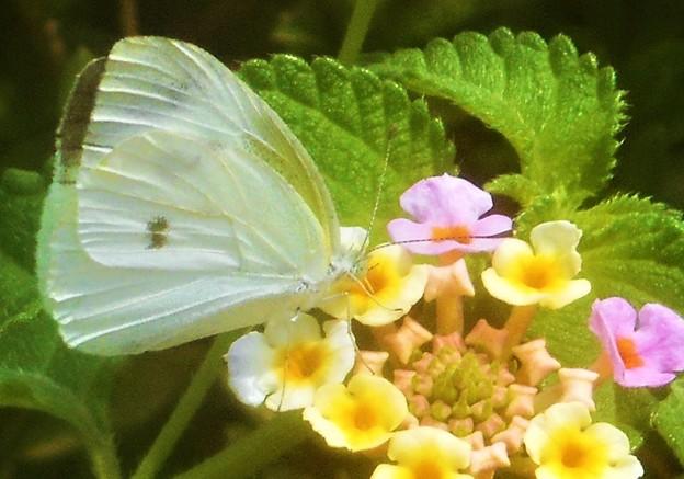 処暑前のランタナの花に@モンシロチョウ@新高山