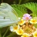 Photos: 処暑前のランタナの花に@モンシロチョウ@新高山