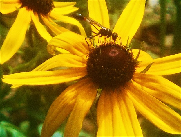 ルドベキアに見知らぬ昆虫さん@瑠璃山