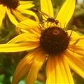 Photos: ルドベキアに見知らぬ昆虫さん@瑠璃山
