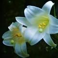 新高山に咲く タカサゴユリ