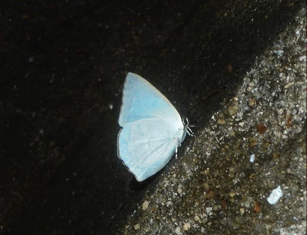"""森の中の銀白色の蝶 """"ウラギンシジミ""""(♂)@新高山"""