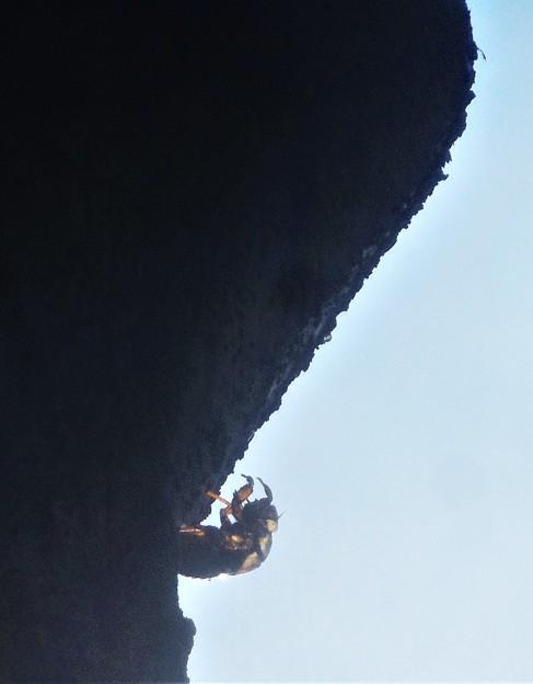 欅(ケヤキ)の幹を耕す
