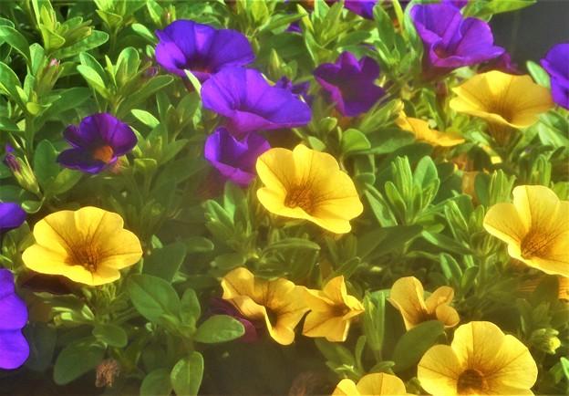 ツートンカラーの花々@カリブラコア@スーパーベルの仲間