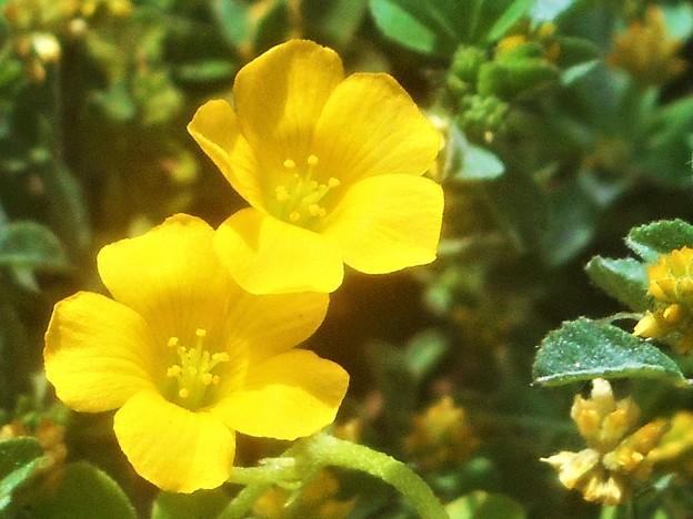 黄色い 野の花