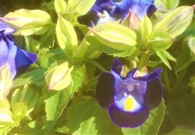 海岸通りの トレニアの花@ゴマノハグサ科@ガーデニング