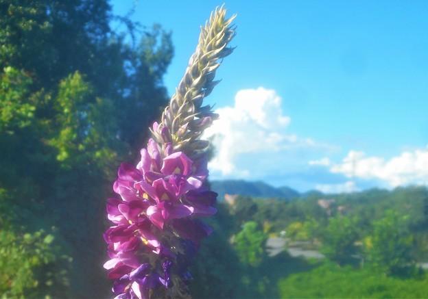 葛(クズ)の花と入道雲@冒険の森周辺