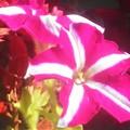 Photos: 海岸通りの花壇に咲く花@ガーデニング