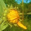 一枚だけ開いた向日葵(ヒマワリ)の花@秋の高原