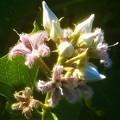 薄紫色の 蘿摩(ガガイモ)の花@オートキャンプ場周辺