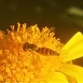 ユリオプス・デージーの花に@ヒラタアブくん