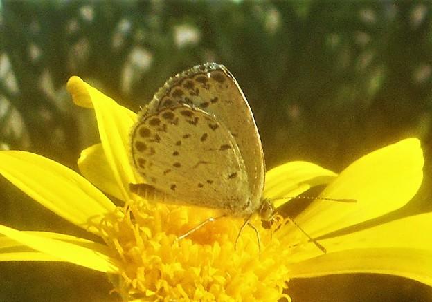 秋のユリオプス・デージーの花に@ヤマトシジミくん