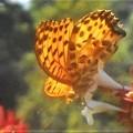 花蜜を吸う ツマグロヒョウモン(♂)@秋の新高山