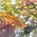 花と光の中の ツマグロヒョウモン(♂)@秋の新高山