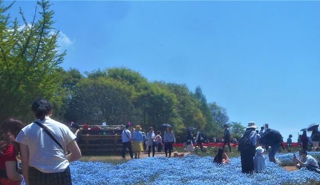 世羅高原の青空とネモフィラ畑のブルー