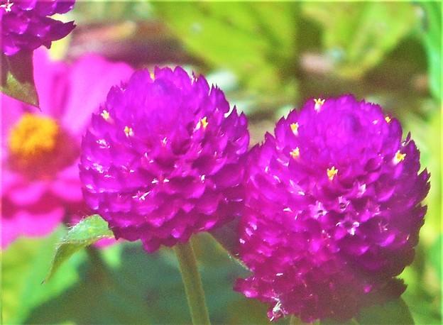 秋に咲く 千日紅とジニア(百日草)@瑠璃山