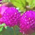Photos: 秋に咲く 千日紅とジニア(百日草)@瑠璃山