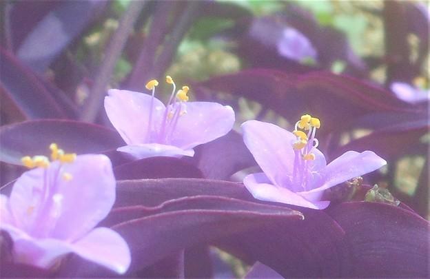 秋に咲く 紫御殿(ムラサキゴテン)@露草(ツユクサ)の仲間