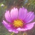 路傍に咲く 秋桜(コスモス)の花@ガーデニング